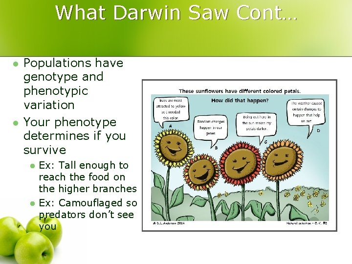 What Darwin Saw Cont… l l Populations have genotype and phenotypic variation Your phenotype