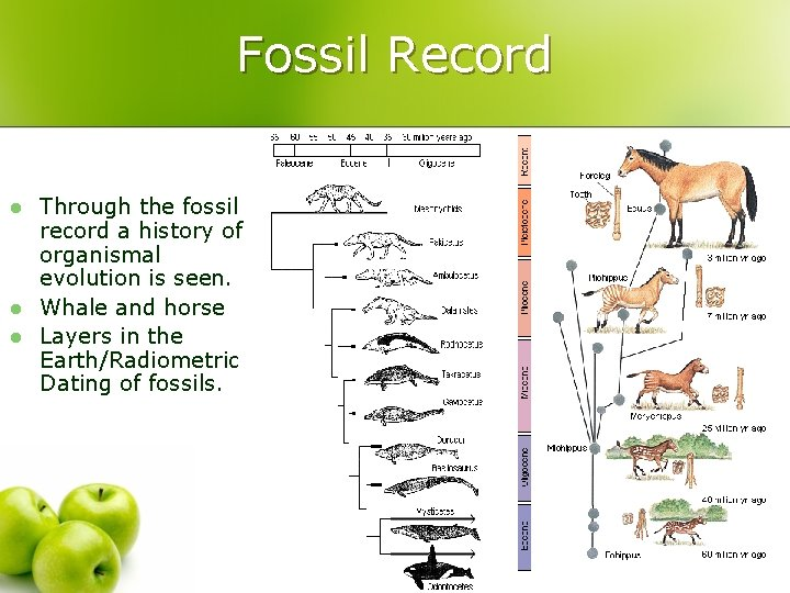 Fossil Record l l l Through the fossil record a history of organismal evolution