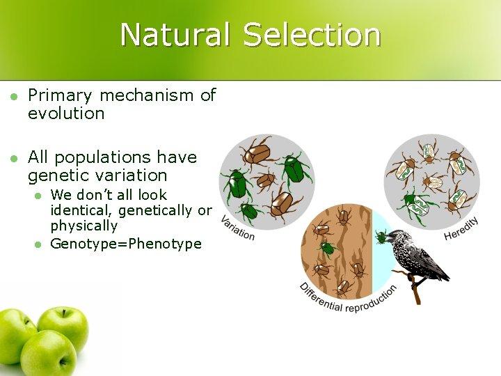 Natural Selection l Primary mechanism of evolution l All populations have genetic variation l