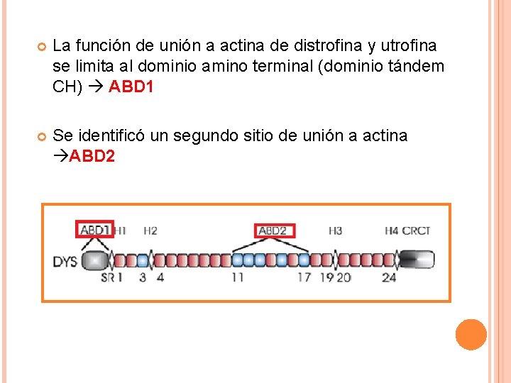 La función de unión a actina de distrofina y utrofina se limita al