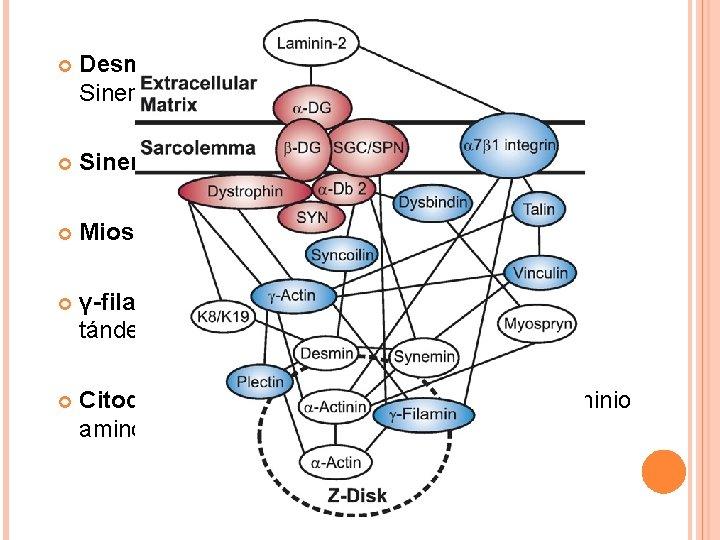 Desmina es una proteína intermediaria entre Sinemina y sincoilina. Sinemina se une a