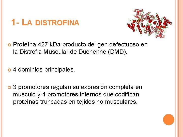1 - LA DISTROFINA Proteína 427 k. Da producto del gen defectuoso en la