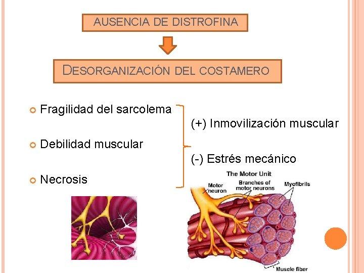 AUSENCIA DE DISTROFINA DESORGANIZACIÓN DEL COSTAMERO Fragilidad del sarcolema (+) Inmovilización muscular Debilidad muscular