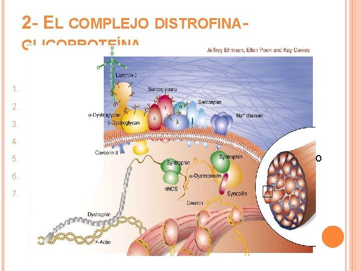 2 - EL COMPLEJO DISTROFINAGLICOPROTEÍNA 1. 2. 3. 4. 5. 6. 7. 156 k.