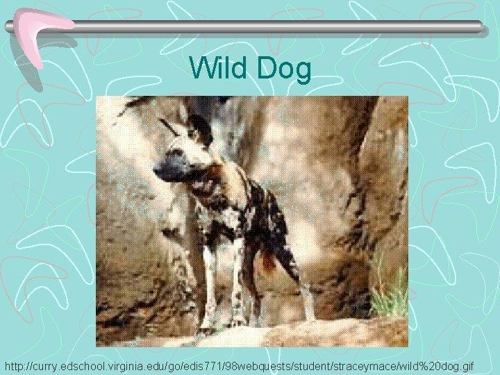 Wild Dog http: //curry. edschool. virginia. edu/go/edis 771/98 webquests/student/straceymace/wild%20 dog. gif