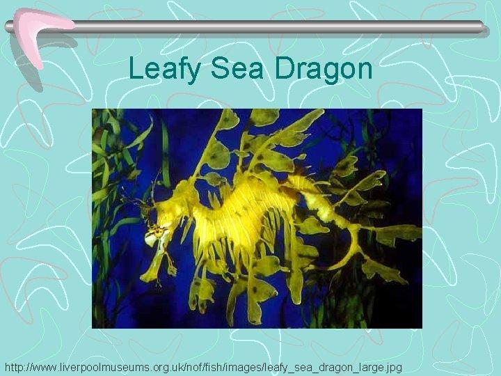 Leafy Sea Dragon http: //www. liverpoolmuseums. org. uk/nof/fish/images/leafy_sea_dragon_large. jpg