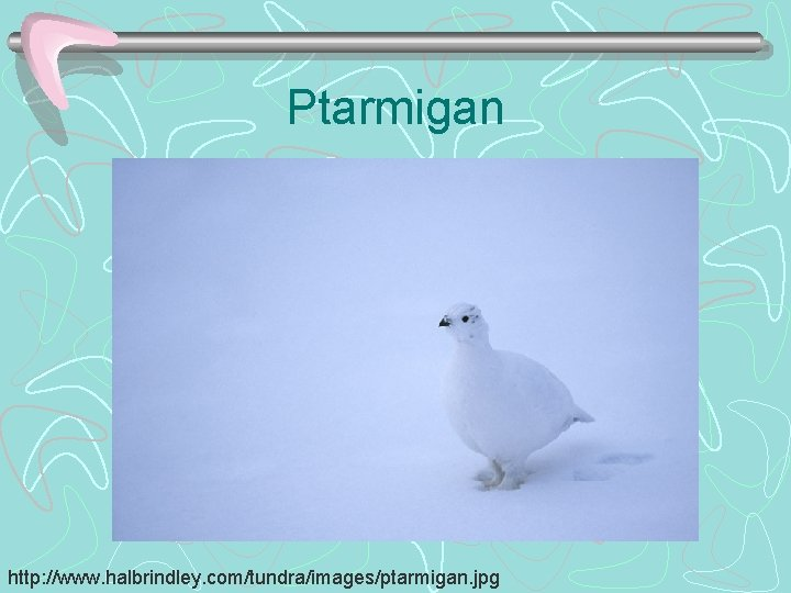 Ptarmigan http: //www. halbrindley. com/tundra/images/ptarmigan. jpg