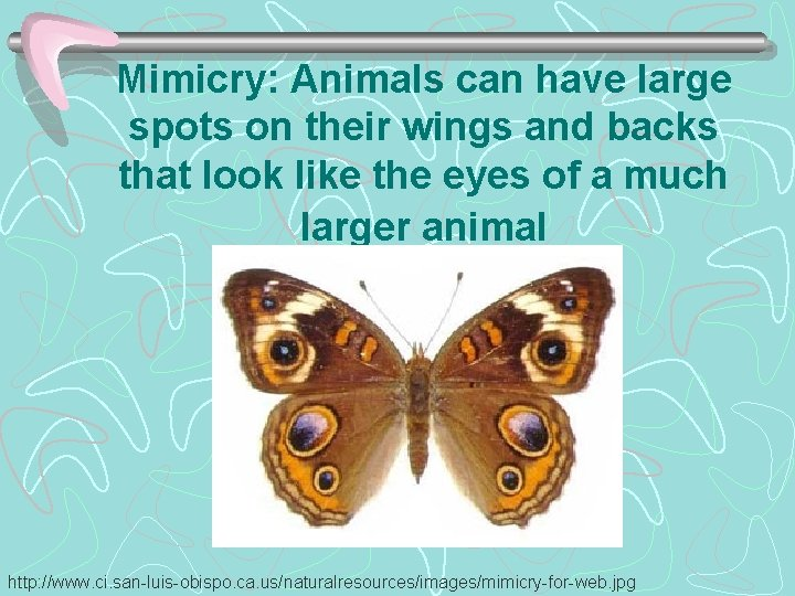 Mimicry: Animals can have large spots on their wings and backs that look like