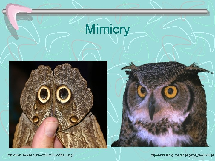 Mimicry http: //www. livewild. org/Costa. Rica/Pics/a 6024. jpg http: //www. libpng. org/pub/png/img_png/Owl. Alpha