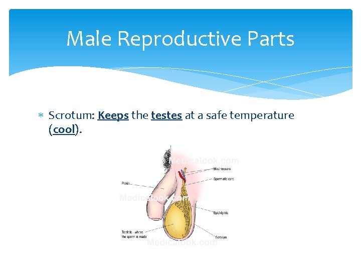 Male Reproductive Parts Scrotum: Keeps the testes at a safe temperature (cool).