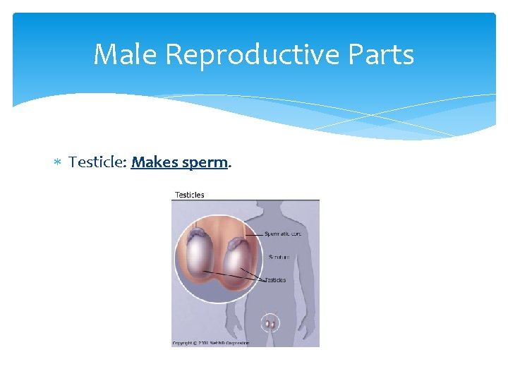 Male Reproductive Parts Testicle: Makes sperm.