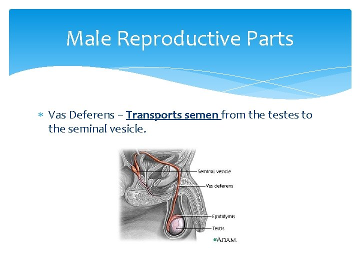 Male Reproductive Parts Vas Deferens – Transports semen from the testes to the seminal