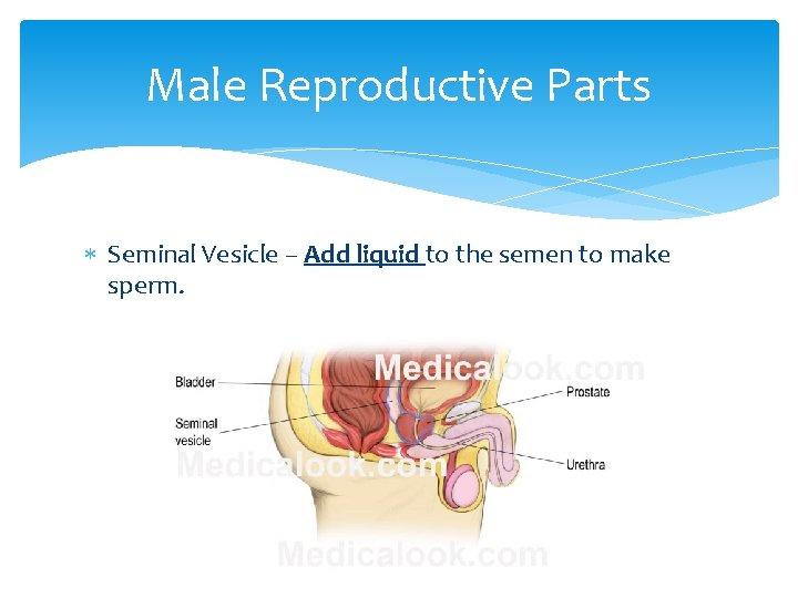 Male Reproductive Parts Seminal Vesicle – Add liquid to the semen to make sperm.