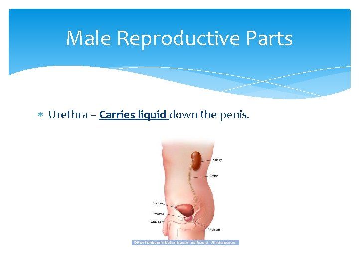 Male Reproductive Parts Urethra – Carries liquid down the penis.