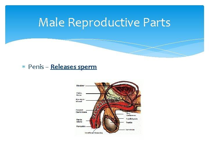 Male Reproductive Parts Penis – Releases sperm