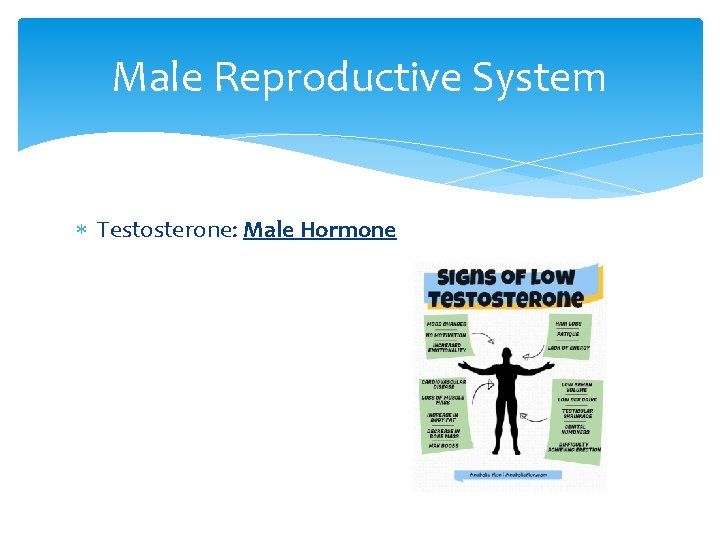 Male Reproductive System Testosterone: Male Hormone