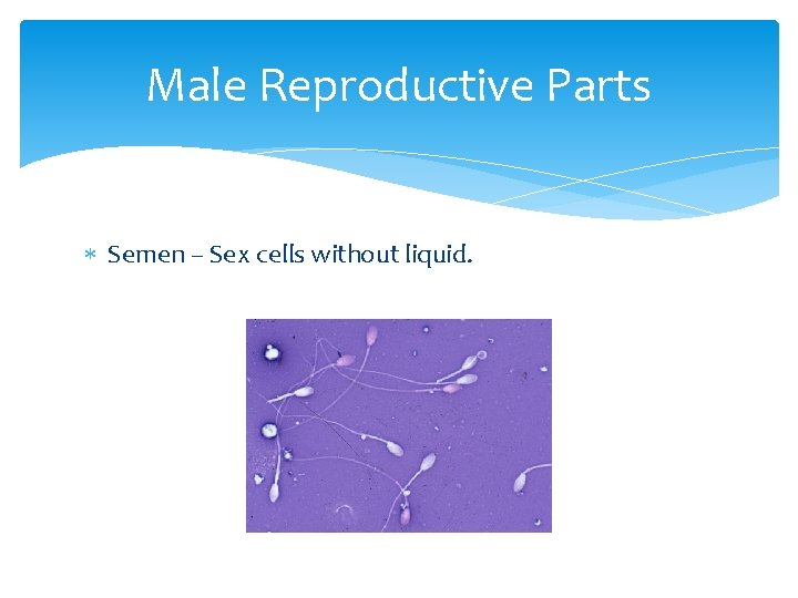 Male Reproductive Parts Semen – Sex cells without liquid.