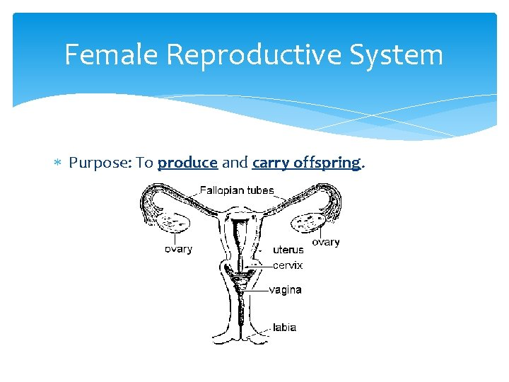 Female Reproductive System Purpose: To produce and carry offspring.