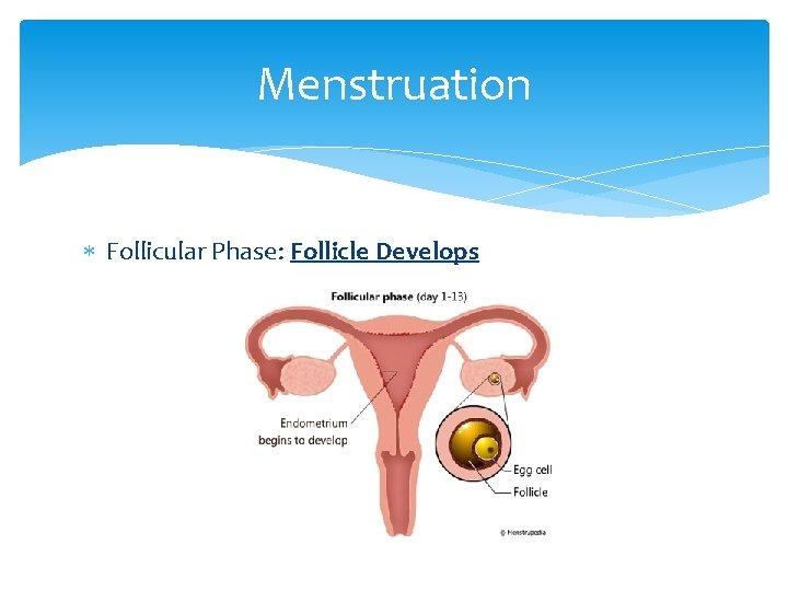 Menstruation Follicular Phase: Follicle Develops