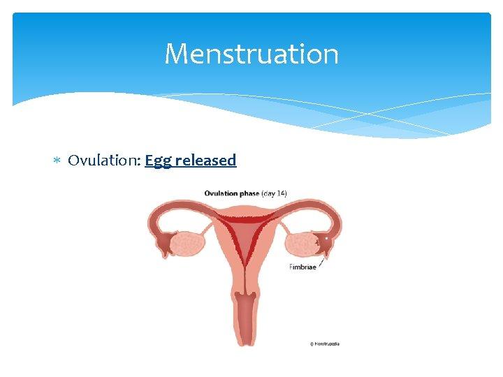 Menstruation Ovulation: Egg released