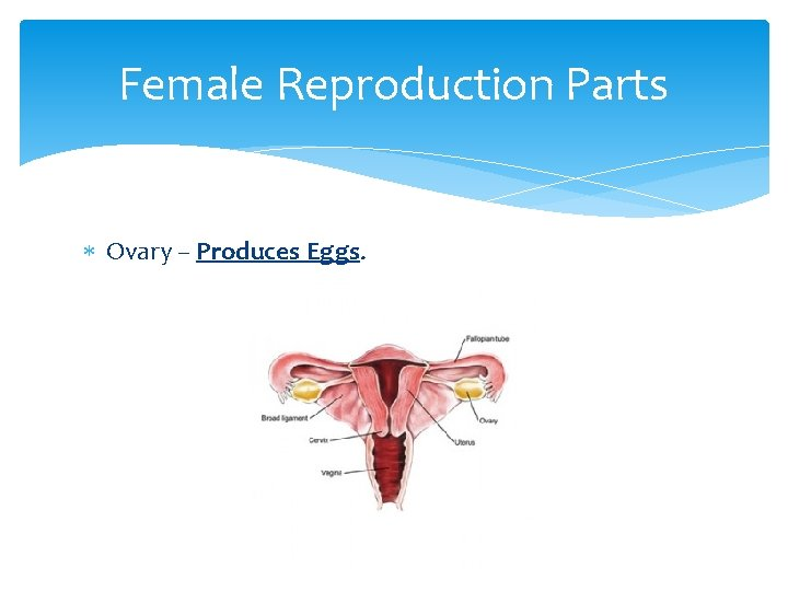 Female Reproduction Parts Ovary – Produces Eggs.