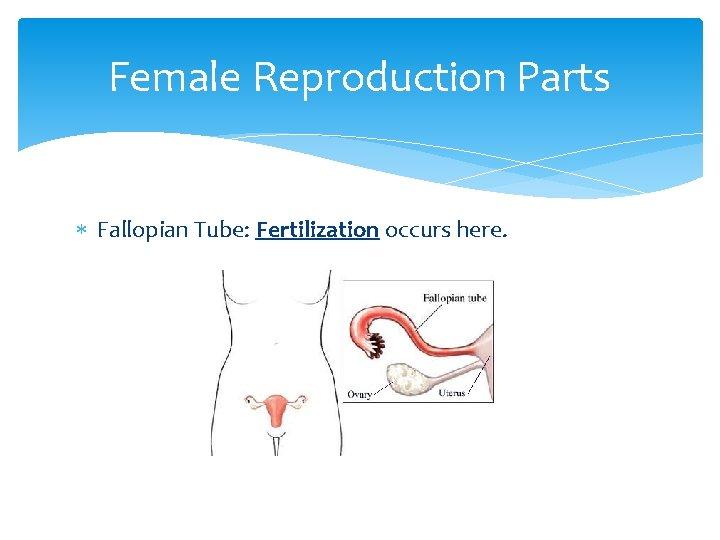 Female Reproduction Parts Fallopian Tube: Fertilization occurs here.