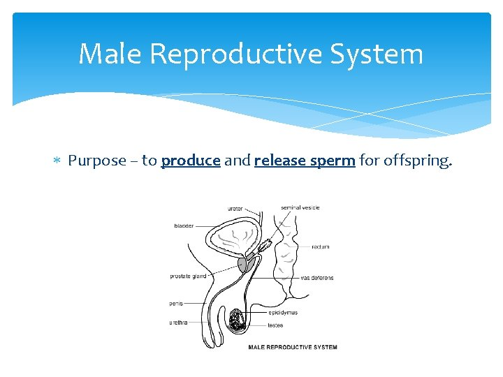 Male Reproductive System Purpose – to produce and release sperm for offspring.