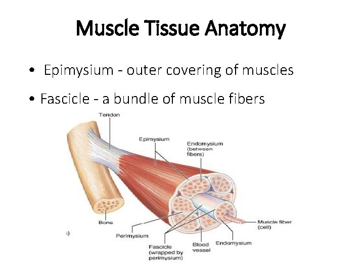 Muscle Tissue Anatomy • Epimysium - outer covering of muscles • Fascicle - a