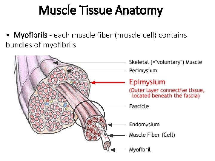 Muscle Tissue Anatomy • Myofibrils - each muscle fiber (muscle cell) contains bundles of