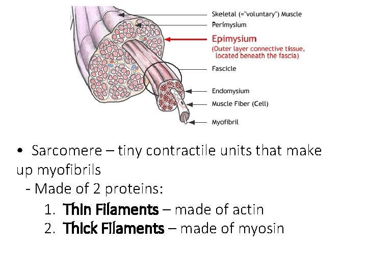 • Sarcomere – tiny contractile units that make up myofibrils - Made of