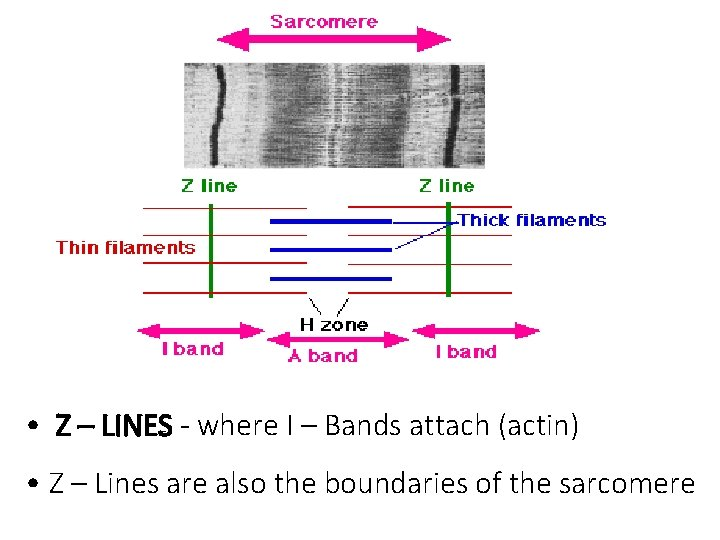 • Z – LINES - where I – Bands attach (actin) • Z