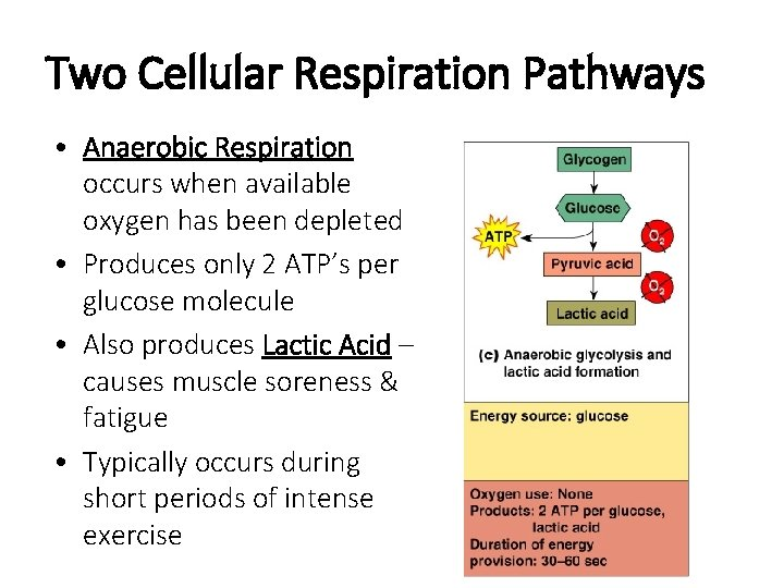 Two Cellular Respiration Pathways • Anaerobic Respiration occurs when available oxygen has been depleted