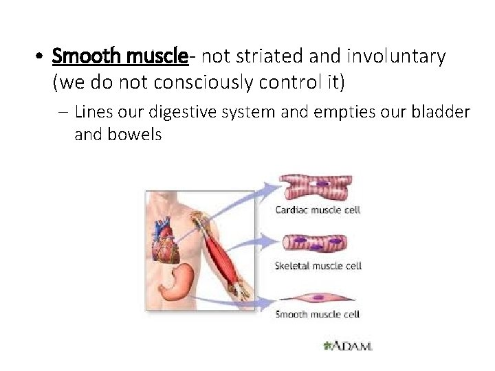 • Smooth muscle- not striated and involuntary (we do not consciously control it)