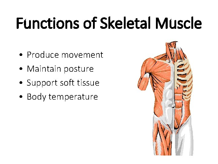 Functions of Skeletal Muscle • • Produce movement Maintain posture Support soft tissue Body