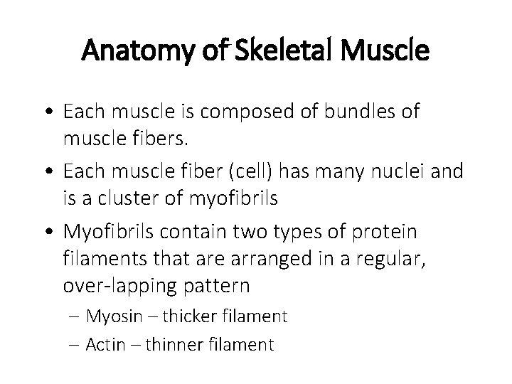 Anatomy of Skeletal Muscle • Each muscle is composed of bundles of muscle fibers.