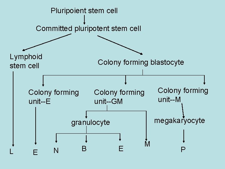 Pluripoient stem cell Committed pluripotent stem cell Lymphoid stem cell Colony forming blastocyte Colony
