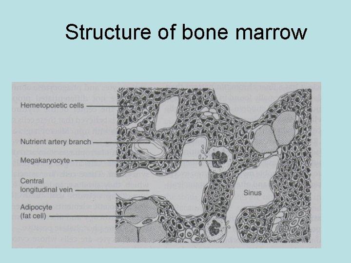 Structure of bone marrow