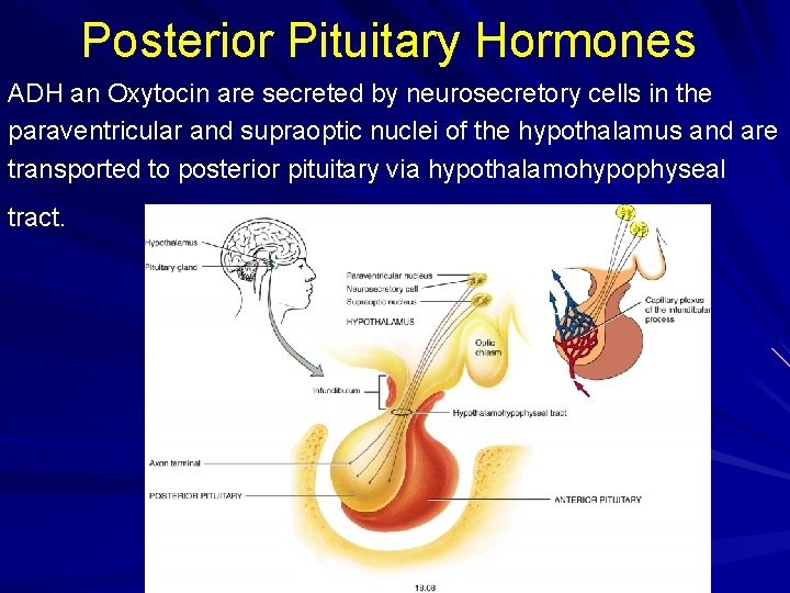 Posterior Pituitary Hormones ADH an Oxytocin are secreted by neurosecretory cells in the paraventricular