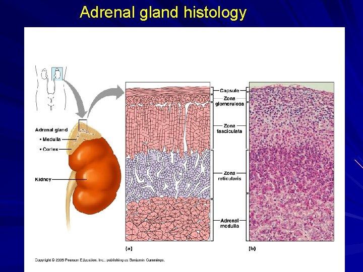 Adrenal gland histology