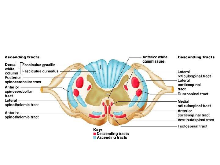 gerincvelő és látás