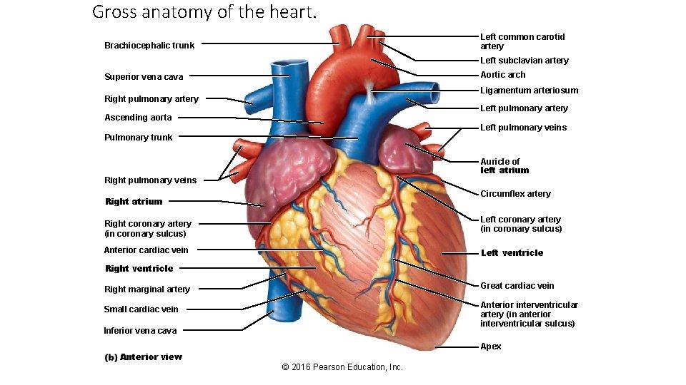 Gross anatomy of the heart. Left common carotid artery Brachiocephalic trunk Left subclavian artery