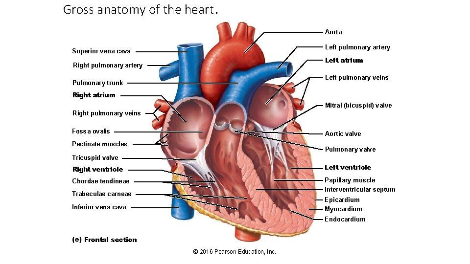 Gross anatomy of the heart. Aorta Left pulmonary artery Superior vena cava Left atrium