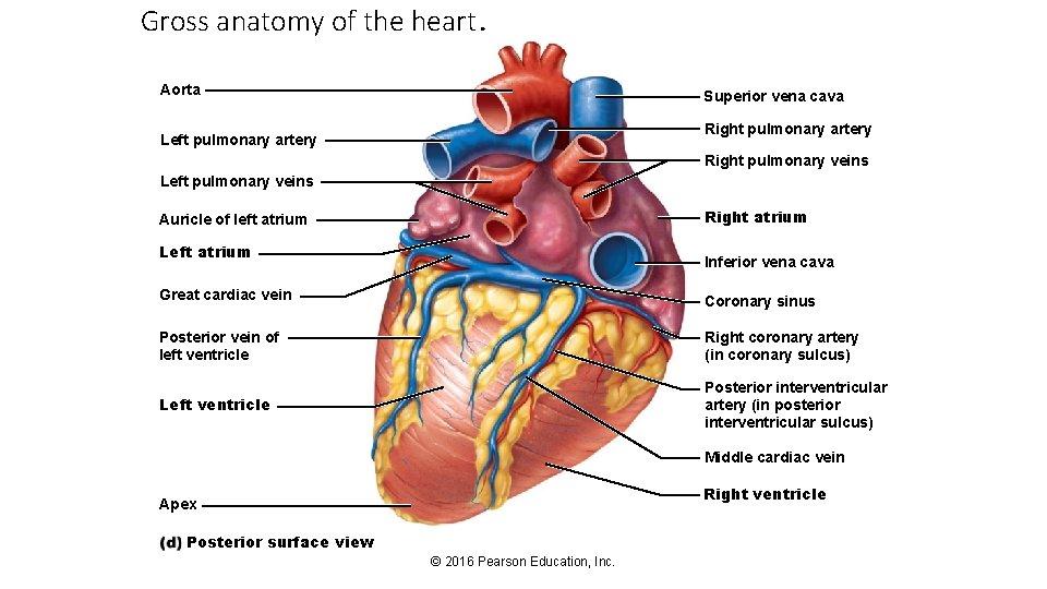 Gross anatomy of the heart. Aorta Superior vena cava Right pulmonary artery Left pulmonary