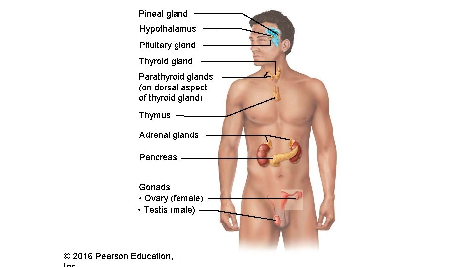 Pineal gland Hypothalamus Pituitary gland Thyroid gland Parathyroid glands (on dorsal aspect of thyroid