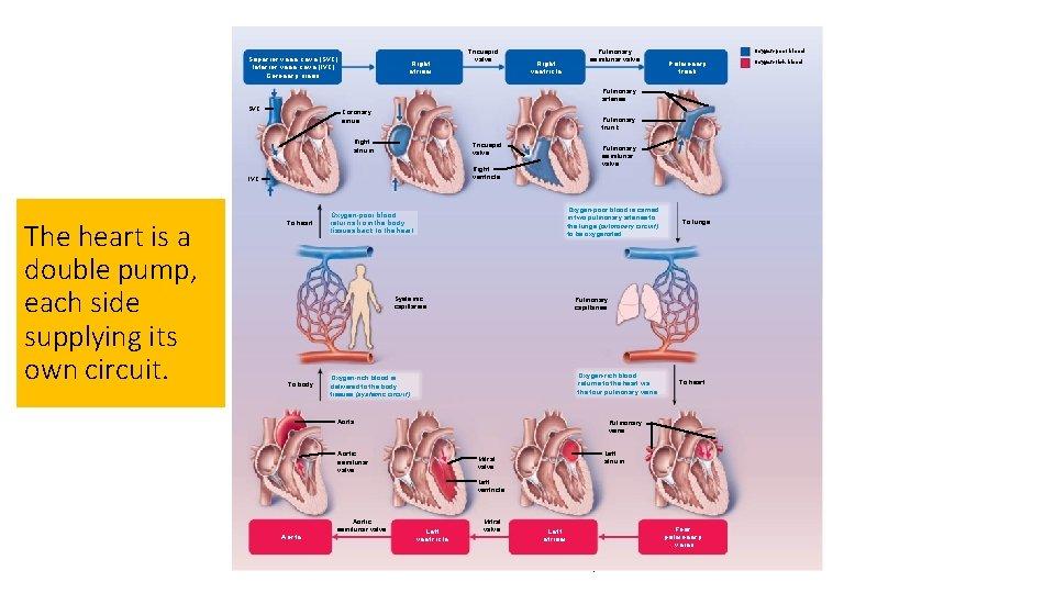 Superior vena cava (SVC) Inferior vena cava (IVC) Coronary sinus Tricuspid valve Right atrium