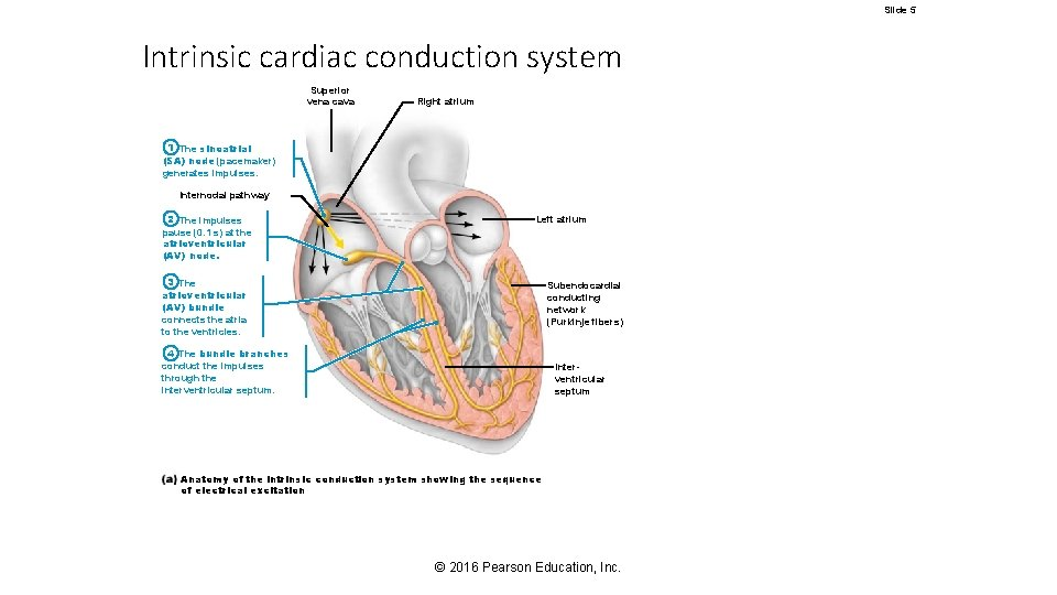 Slide 5 Intrinsic cardiac conduction system Superior vena cava Right atrium 1 The sinoatrial