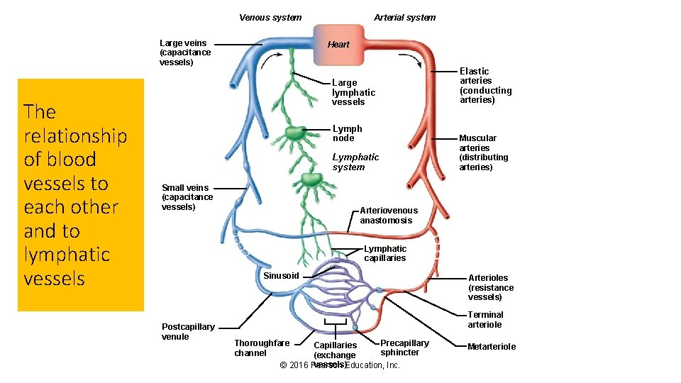 Venous system Large veins (capacitance vessels) The relationship of blood vessels to each other