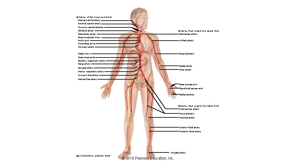 Arteries of the head and trunk Internal carotid artery External carotid artery Common carotid