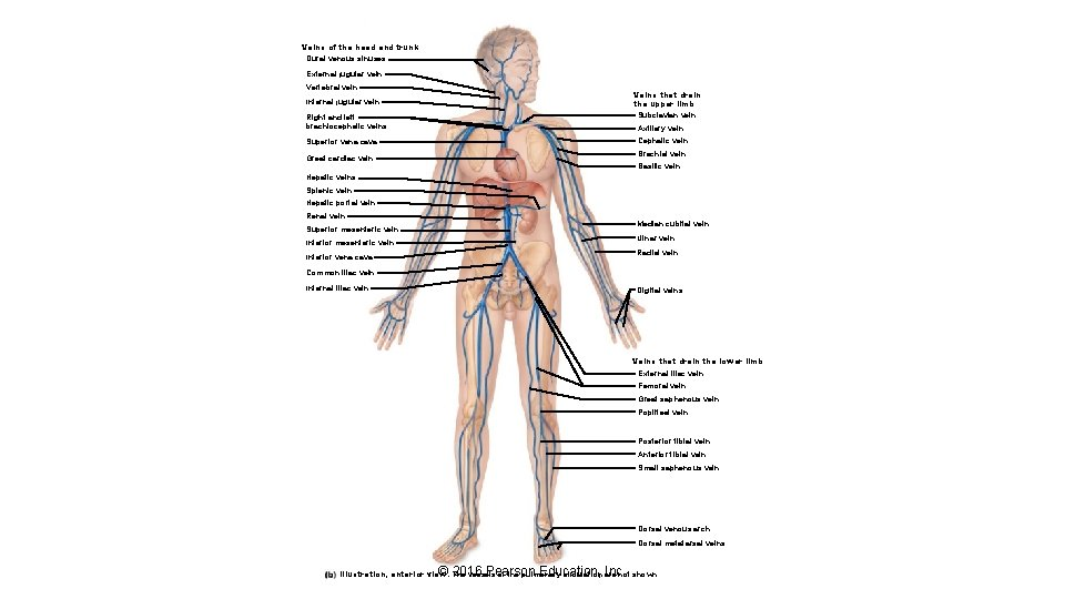 Veins of the head and trunk Dural venous sinuses External jugular vein Vertebral vein