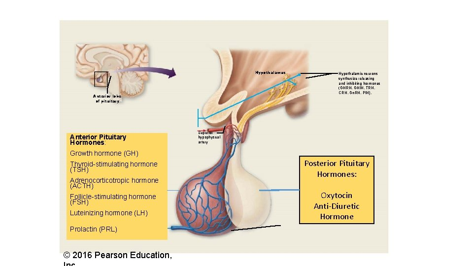 Hypothalamus Anterior lobe of pituitary Anterior Pituitary Hormones: Hypothalamic neurons synthesize releasing and inhibiting
